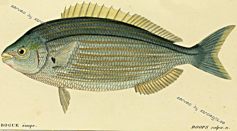 「叉牙鲷」栖息於非洲东海岸与整个地中海地区,特别常见於法国蔚蓝